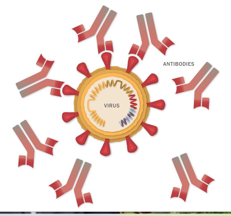 Dette billede har ingen alternativ tekst; filens navn er antibody-latching.png
